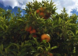 sinaasappelboom-valencia